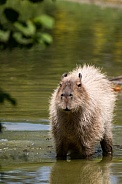 capybara standing in the water