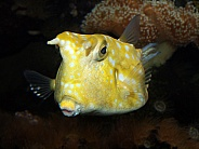 Horned Boxfish (Lactoria cornuta)