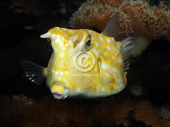 Horned Boxfish (Lactoria cornuta)
