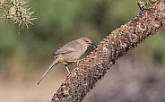 Brown Thrasher Bird