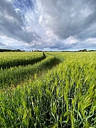 Agricultural land - crop of barley - England