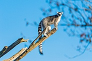 Ring Tailed Lemir