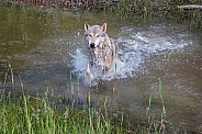 Tundra Wolf Splashing through Pond