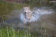 Tundra Wolf Splashing through Pond