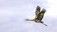 Lesser Sandhill Crane Flying in Alaska