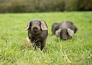 Rare Large Black Piglet