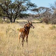 Juvenile Sable Antelope