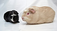 Cuy Guinea Pig (giant)