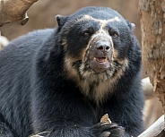 Andean bear with a coconut treat
