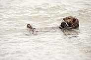 Wild Sea Otter in Alaska