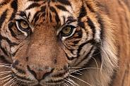 Sumatran Tiger Very Close Up