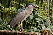 Night heron close up