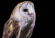 Barn Owl Close Up Looking Upwards Black Background