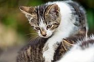 Cat / Kitten