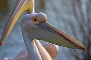 Eastern White Pelican Close-up