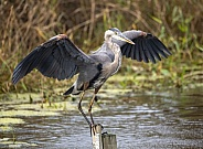 Blue heron landing on a post in the water