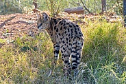 Serval at Sunrise
