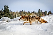 Coyote in winter snow