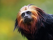 GOLDEN-HEADED LION TAMARIN (LEONTOPITHECUS CHRYSOMELAS)