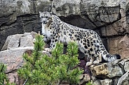 Snow Leopard (Male)