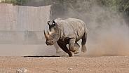 Indian White Rhino