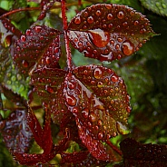 Rose Leaves After Rain