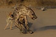 Skittish Hyena