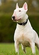 White English Bull Terrier