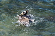 Brown Pelican splashes in Pacific Ocean