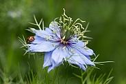 Ladybird on blue Nigella.