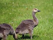 Canada juvenile Gosling