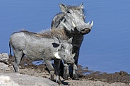 Warthogs at a waterhole - Namibia