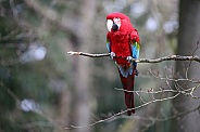 Red and green Macaw ( (Ara chloropterus)