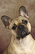 Fawn French Bulldog Portrait Shot