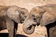 African elephants bonding