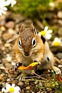 Golden-Mantled Ground Squirrel (wild)