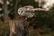 Barn Owl About To Take Off. Wind Under Wing