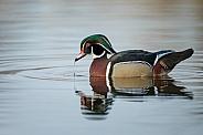 The wood duck or Carolina duck (Aix sponsa)