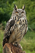 European Eagle Owl - Scotland