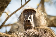 Baboon close-up