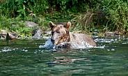 Alaskan brown bear swimming