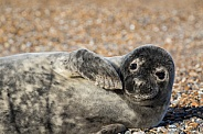 Grey Seal Pup Portrait