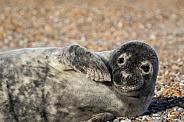 Grey Seal Pup Portrait