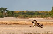 Resting Jaguar on the Beach