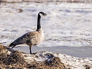 Canada Goose Standing on the Field