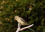 Spinus tristis, American Goldfinch