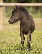 American Miniature Horse Foal
