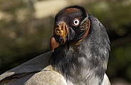 King Vulture Looking Back Over Shoulder