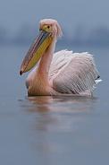 Rose Pelican
