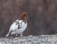 Male Willow Ptarmigan in Alaska